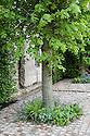 Pollarded lime tree (Tilia platyphyllos), Brewin Dolphin Garden, Cleve West, RHS Chelsea Flower Show 2012.