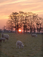 Sheep in the sunrise, Chipping, Lancashire.