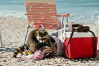 Young raccoon raids the beach bag looking for goodies, Carl Johnson park, Fort Meyers Beach, Florida