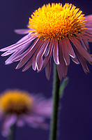 purple Aster flower (Tongolensis)