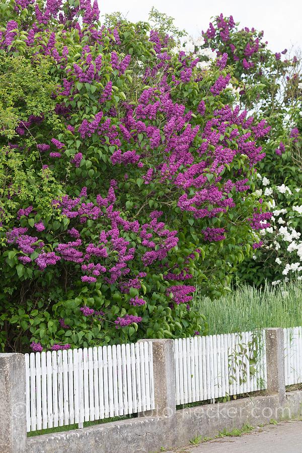 Garten-Flieder, Flieder, Blüte, Blüten, blühend, Gemeiner Flieder, Gartenflieder, Syringa vulgaris, Common Lilac, French Lilac, Le lilas commun, lilas français