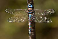 339360011 a wild male blue-eyed darner dragonfly rhionaeschna multicolor  perches on a small limb at hornsby bend austin travis county texas united states