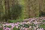 Israel, Shephelah, Cyclamen flowers in Amatzia forest.