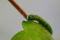 A green caterpillar that is eating a green leaf. The focus is on the head. The photo has been taken in Rome.
