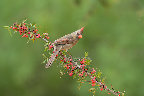 Northern Cardinal (Cardinalis cardinalis), adult female perched on Agarita (Berberis trifoliolata) with berries, Rio Grande Valley, South Texas, Texas, USA