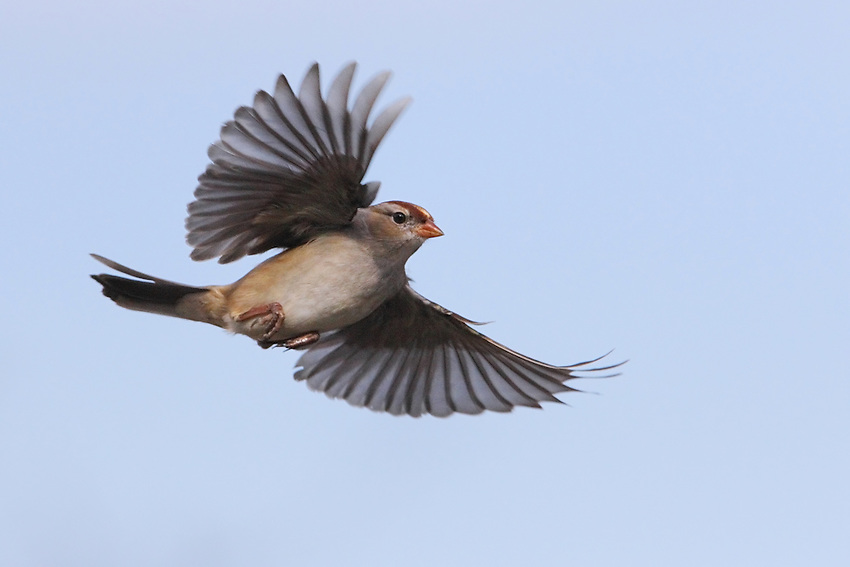 A crisp, pretty sparrow whose bright rufous cap provides a splash of color. <br /> Their loud, trilling songs are one of the most common sounds of spring woodlands and suburbs.