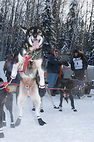 """Sunday February 27, 2010   """"Jaxon"""" one of Tobin Sworts team dogs jumps in anticipation of getting to the start line at the Junior Iditarod start  Willow , Alaska"""