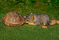 Baby squirrel peeks into the shell of an ornate box turtle whose head has disappeared