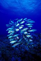 Yellowfin goatfish ( Mulloidchthys vanicolensis) hover over the coral reefs of Hawaii. Hawaiian name is Weke-ula.
