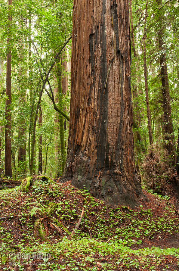 Coast redwood, Sequoia sempervirens, in Big Hendy Grove, Hendy Woods State Park, California