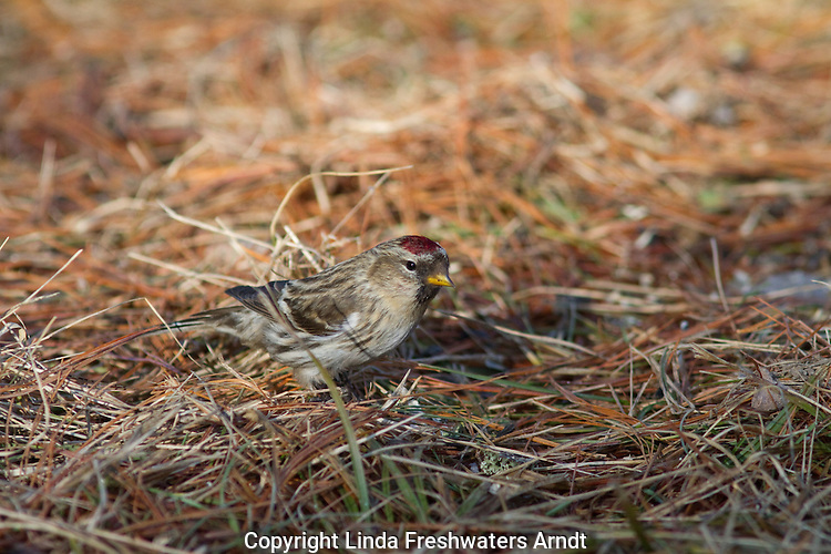 Common redpoll in Wisconsin