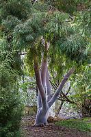 Corymbia citriodora Lemon-scented Eucalyptus Gum, white bark drought tolerant tree; Fullerton Arboretum, Southern California