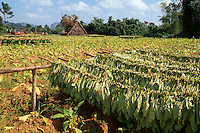 Cuba, Trocknen von Tabak im Valle de Vinales, Provinz Pinar del Rio
