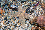Forbes sea star on coarse gravel bottom.