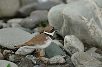 A common ringed plover protects its nest on a gravel bar along the Kongakut River, in Alaska's Arctic National Wildlife Refuge.