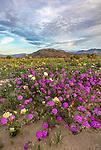Anza-Borrego Desert State Park:  A field of desert wildflowers featuring dune evening primrose (Oenothera deltoides), desert sand verbena (Abronia villosa) and desert sunflower (Geraea canescens) in Borrego Valley in morning light