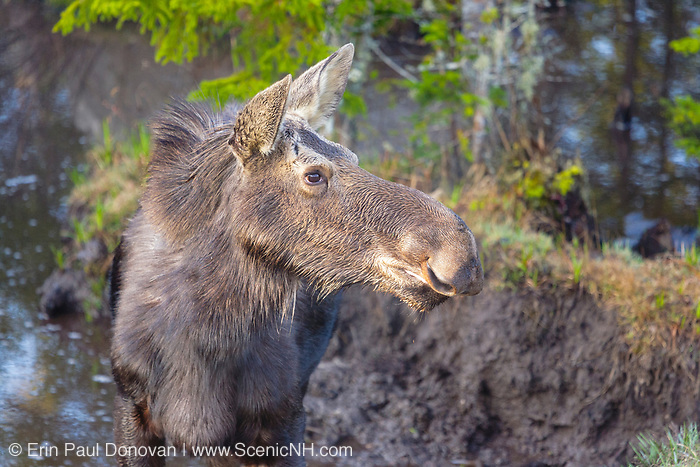 Moose in mud hole on the side of Route 302 in the White Mountains, New Hampshire USA