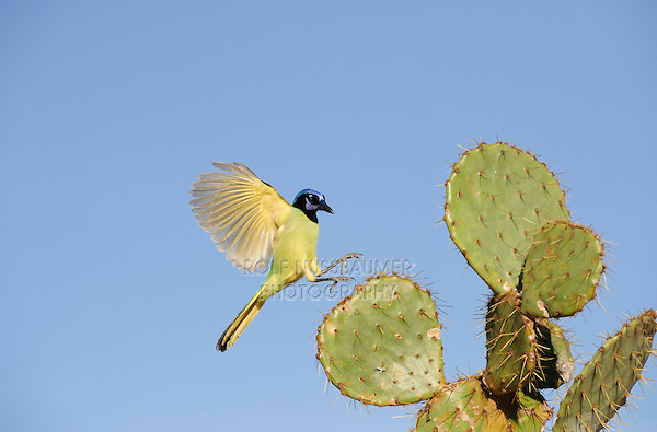 Green Jay (Cyanocorax yncas), adult landing on Texas Prickly Pear Cactus (Opuntia lindheimeri)D inero, Lake Corpus Christi, South Texas, USA