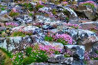 Sea Pink or Sea Thrift wildflowers in rosks with lichens . Near Port Bradden. Northern Ireland