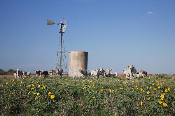 Wind mill and cattle, Sinton, Corpus Christi, Coastal Bend, Texas, USA