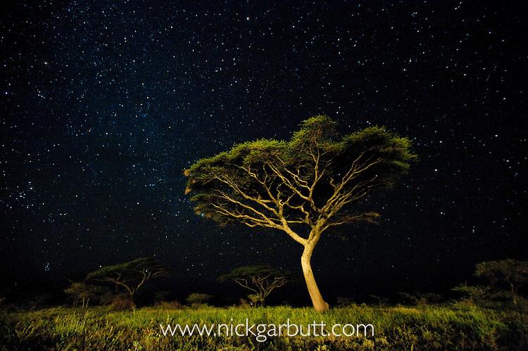 Acacia sp. at night with star-filled sky. Ngorongoro Conservation Area / Serengeti National Park, Tanzania.
