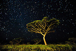 Acacia sp. at night with star-filled sky. Ngorongoro Conservation Area / Serengeti National Park, Tanzania.