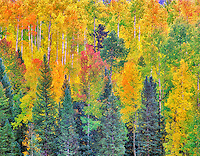 Red, yellow and green colored aspen trees in one grove. San Juan Mountains, Colorado.