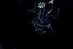 Larval Lobster with Prey , Plankton; larval fish; pelagic larval marine life, Gulf Stream Current, SE Atlantic Ocean,Florida.