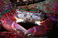 Striped shore crab, Pachygrapsus crassipes, California, Pacific Ocean
