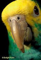PA01-046z  Yellow-headed Amazon Parrot - close-up of beak - Amazona ochrocephala