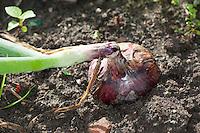 Zwiebel, Küchen-Zwiebel, Küchenzwiebel, Allium cepa, Onion