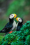 Horned puffins (Fratercula corniculata)<br />