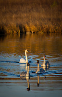 Trumpeter Swan family @ Anchorage's Potter Marshm Monday, Oct. 6, 2020
