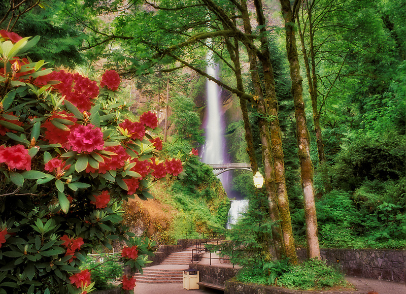 Multnomah Falls with rhododendron. Columbia River Gorge. Oregon.