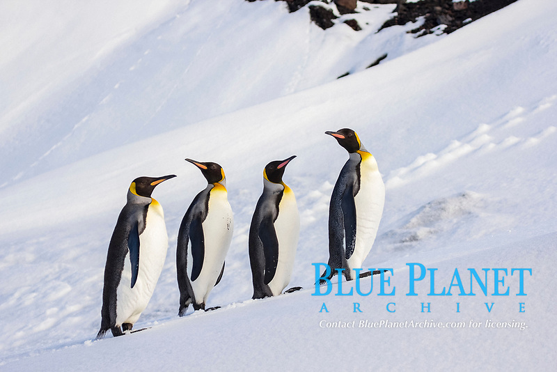 King penguins (Aptenodytes patagonicus) in a row in snow, Heard Island, Antarctica
