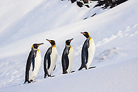 King penguins (Aptenodytes patagonicus) in a row in snow, Heard Island, Antarctica