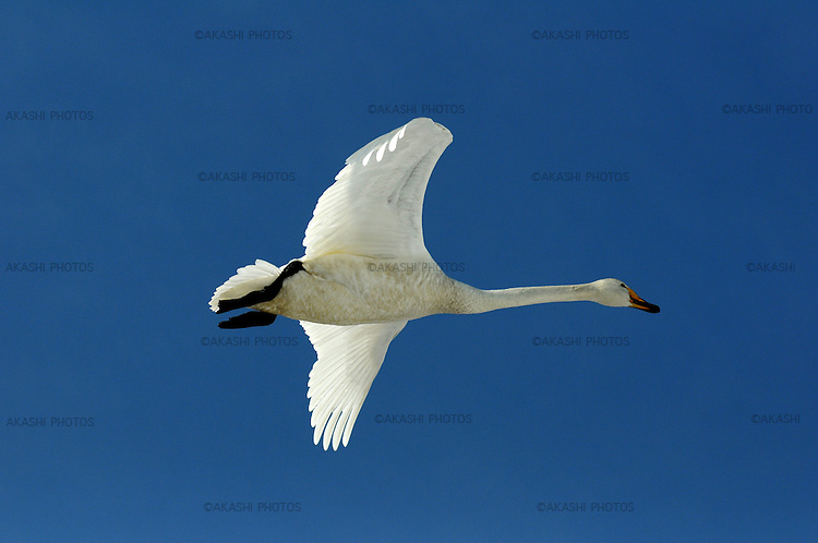 Whooper swans in Akan International Crane Center.<br /> <br /> Des cygnes chanteurs au Akan International Crane Center