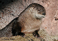 0806-0805  Northern River Otter, Lontra canadensis  © David Kuhn/Dwight Kuhn Photography.