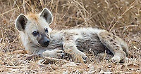A hyena pup that was left alone near the road in Kruger National Park.