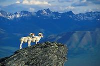 Dall sheep rams on rocky outcrop in the Alaska mountain range, Denali National Park, Alaska.