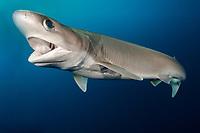 Bigeyed Sixgill Shark