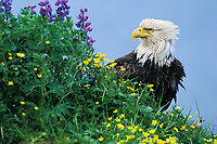 Bald eagle (Haliaeetus leucocephalus) with buttercup and lupine flowers. Adak, Alaska.