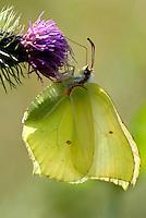 Citroentje (Gonepteryx rhamni)