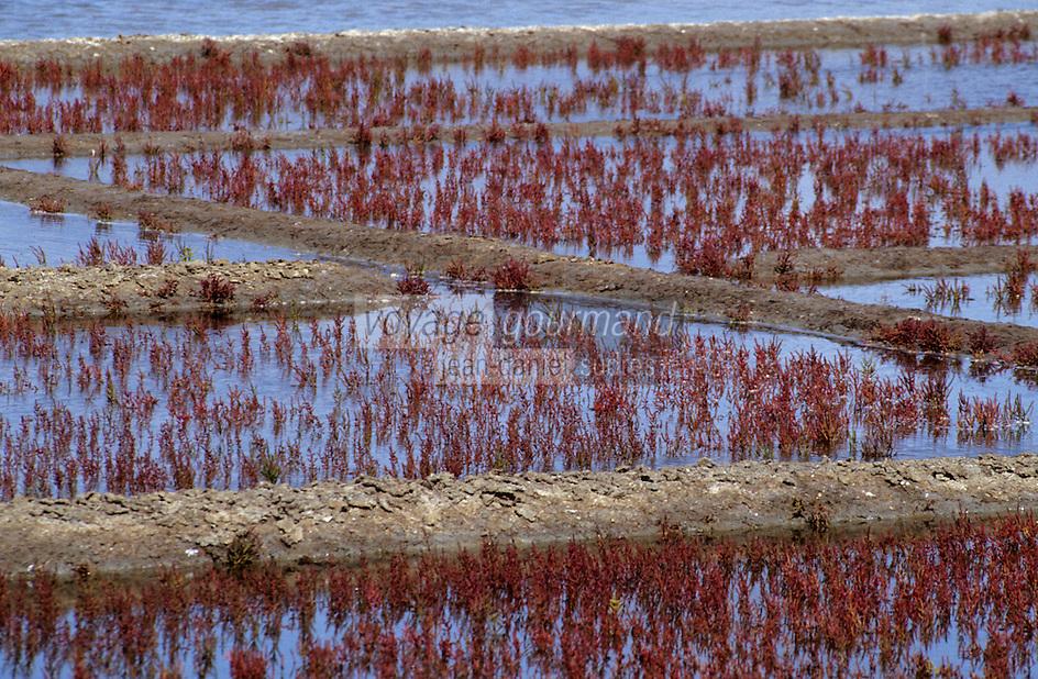 Europe/France/Pays de la Loire/44/Loire-Atlantique/Guérande: Les marais salants - Détail salicorne