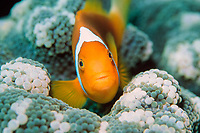 white bonnet anemonefish, Amphiprion leucokranos, Papua New Guinea, Pacific Ocean
