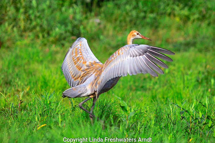 Immature Sandhill Crane (Grus canadensis) with wings open.  Summer.  Winter, WI.