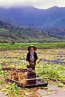 Mrs Haraguchi harvesting taro (kalo) on the family farm, Hanalei, Island of Kauai