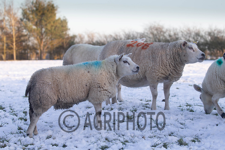 25-2-2021 Pedigree Texel ewes in the snow<br /> ©Tim Scrivener Photographer 07850 303986<br />      ....Covering Agriculture In The UK....