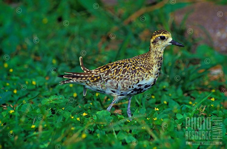 The Pacific Golden Plover ( Pluvialis fulva) is a migratory shorebird that winters in the tropical islands. It's hawaiian name is Kolea.
