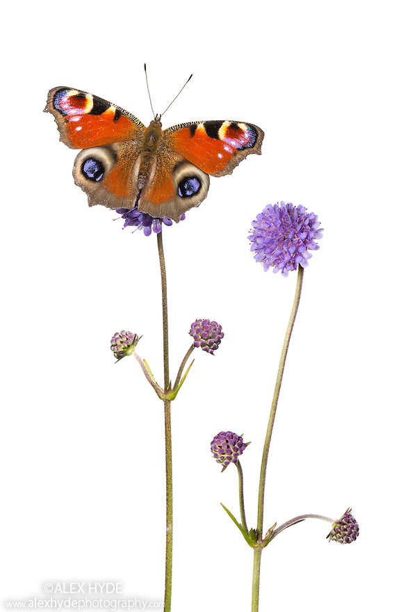 Devil's-bit Scabious {Succisa pratensis} and Peacock butterfly {Inachis io} photographed against a white background in mobile field studio. Digital composite image. Peak District National Park, Derbyshire, UK. September.